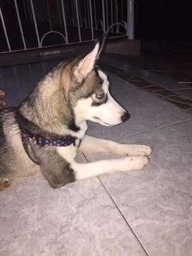 Husky siberiano 4 meses