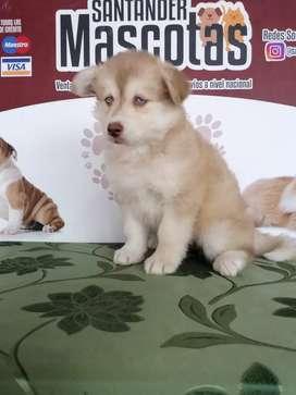 Hembra husky siberiana de pelaje extremo y 50 días de nacida