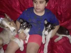 Se vende  perros  collie de 2 meses de nacidos
