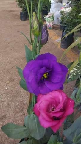se vende rara semillas de Eustoma Grandiflorum eustoma lisianthus Lisianto