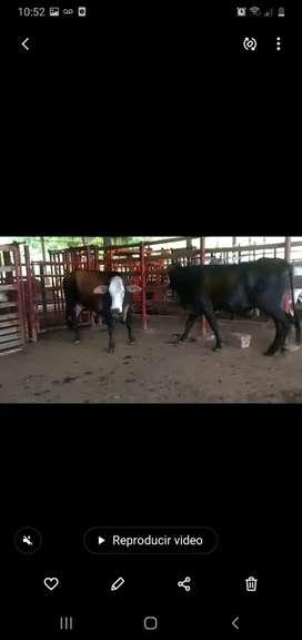 vendo vacas zimbra