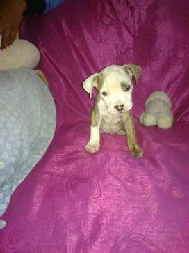 Se venden hermosos cachorros fusión pitbull y buldog puros