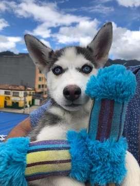 Husky Siberiano 5 meses hembra