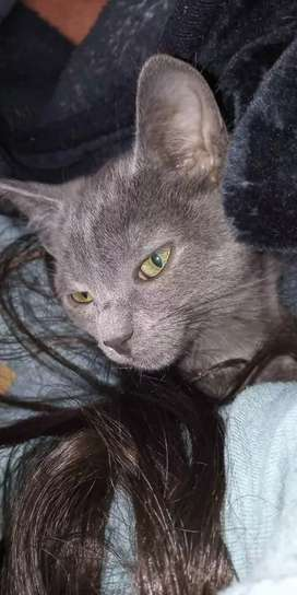 Vendo Hermosos Gatos Azul Ruso