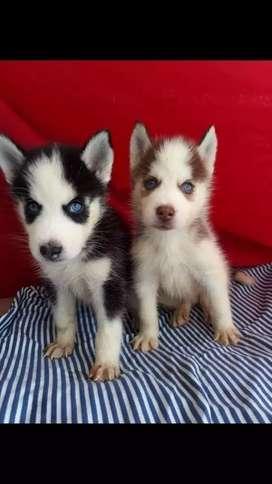 Lobos huskys siberianos en venta
