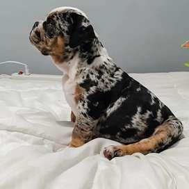 Bulldog Hembra