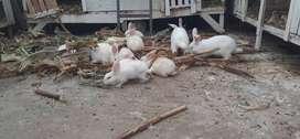 Vendo Conejos y cuyes