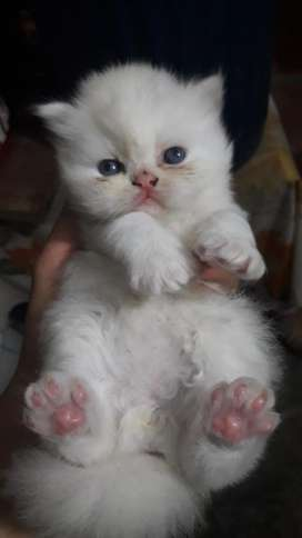 Hermosos Gaticos Persa
