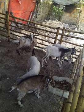 Cabras y ovejas