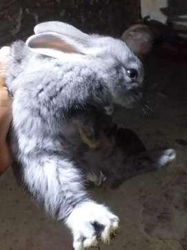 Vendo conejo conejito gigante de flandes y belier