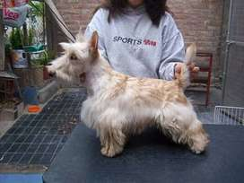 Busco novio scottish terrier