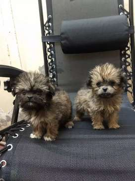 Shitzus cachorros
