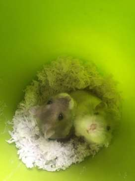 Haulas para hamster