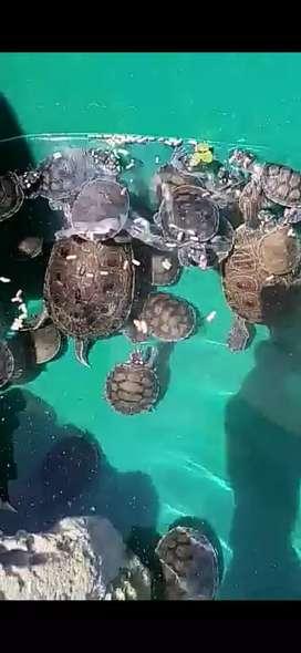 Turtless bb