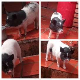 Marranitos mini pig