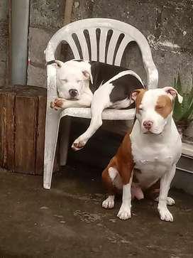 2 Pitbull para monta somos de Baños
