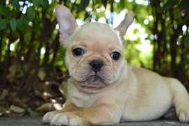 Cachorro Bulldog Frances Hembra Fawn   Criadero  El Arca Del Frances