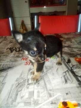 Chihuahuas 45 dias desparacitados vacunados hembra color te con leche machito negro muy chiquitos