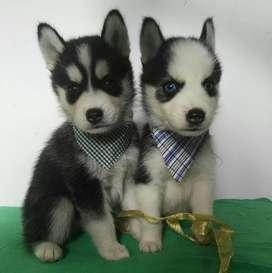 Definidos lobos cachorritos saneaditos