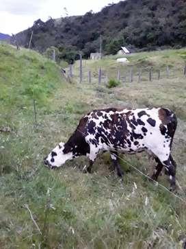 Se vende vaca normanda