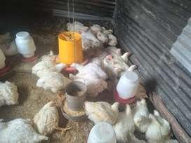 Pollos grandes