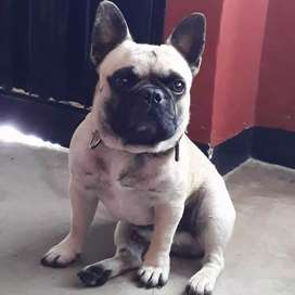 Bulldog francés para la monta ubicación popayan