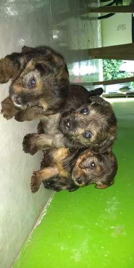 Perros Yorkshire terrier baratos