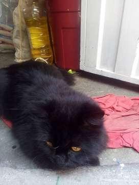 Se vende gato angora con persa