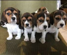 "COMPRA YA tu cachorro Beagle 13"""