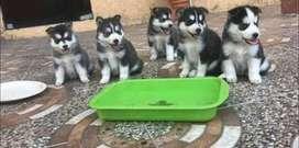 HUSKYS MUY PELUDOS Son los más hermosos y bellos cachorros de la raza 100% puros, con su esquema de vacunas al dia, desp