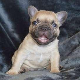 cachorros hermosos entrega inmediata con certificado de 47 dias de vida
