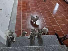 Venta de cachorros husky siberian