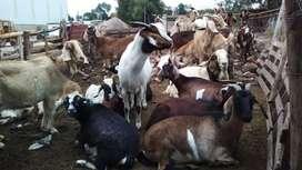 Vendo 29 cabras preñadas más 1 chico bóer puro