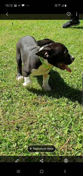 Amarecican Bully disponible 3 meses !!!