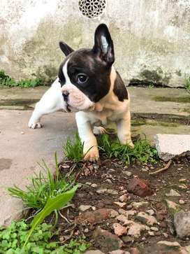 Bulldog Frances Hembras con Fca