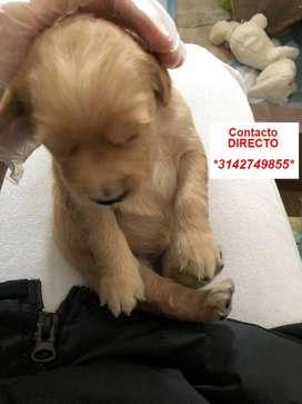 DISPONIBLES CACHORRITOS GOLDEN RETRIEVER