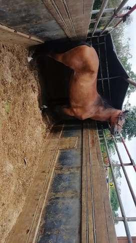 Vendo caballo capón con registro muy sabroso y manso