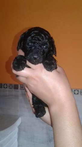 Hermosa Caniche toy hembrita negra