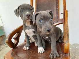 Pitbull blue  bellos