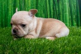 Cachorro Bulldog Frances Fawn Criadero  El Arca Del Frances