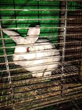 Conejos en venta,adultos. Tres machos y dos hembras. $1500 c/u