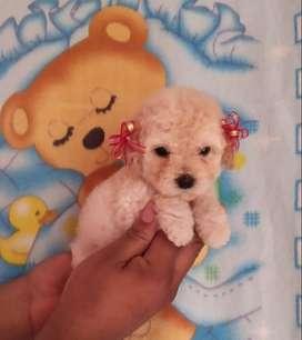 Hermosos French Poodle Minitoy