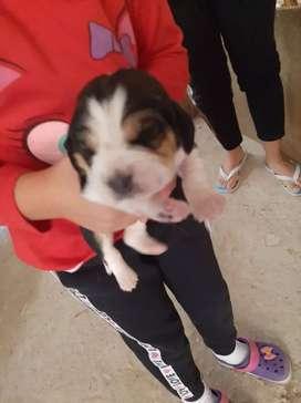 Beagles  machos y hembras bicolor y tricolor