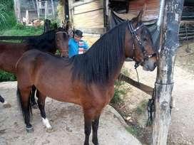 Hermoso caballo trochador Hijo de Tayrona del Paso