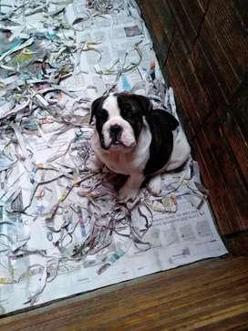 Bulldog a la venta