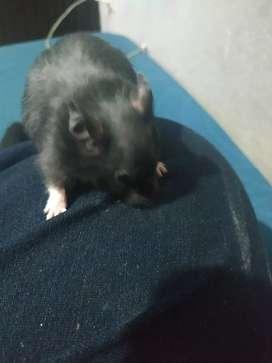 Hermosos hamster sirios negros