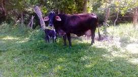 Criadero villla nueva ganado tipo leche