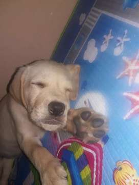 Se vende Perrita Cachorra Raza Labradora