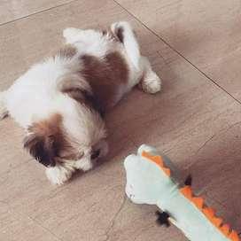 espectaculares cachorritos shitzu, machos entrega inmediata
