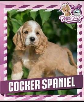 Cocker Spaniel Color Caramelo / Blanco Caramelo